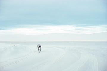 Dalmation running across white sand