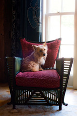 Cairn Terrier on chair