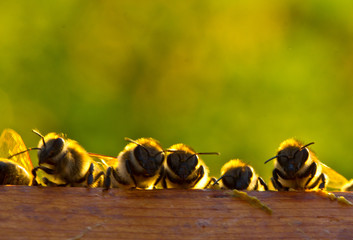 Evening communication of young bees
