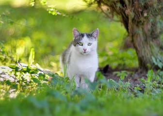 Young white gray cat resting in garden. Natural outdoor closeup portrait of domestic cat