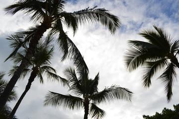 Palm Hawaii Honolulu