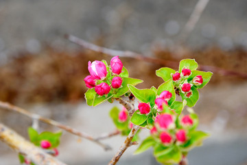 Apple tree brunch with pink flowers