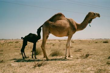 Camel plus one