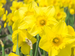 Close up of daffodils