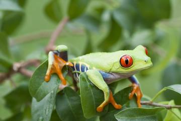 Red-eyed Tree frog (Agalychnis callidryas) in Rainforest