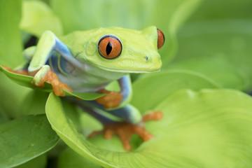 Foto op Plexiglas Kikker Red-eyed Tree frog (Agalychnis callidryas) in Rainforest
