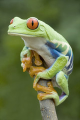 Red-eyed Tree frog (Agalychnis callidryas) in Rainforest