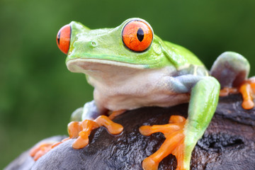 Tuinposter Kikker Red-eyed Tree frog (Agalychnis callidryas) in Rainforest