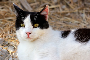 Portrait of feral black-white cat in the countryside