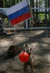 A meerkat, which attempts to predict the result of the opening match of the 2018 FIFA World Cup between Russia and Saudi Arabia, is seen during an event at the Royev Ruchey Zoo in Krasnoyarsk