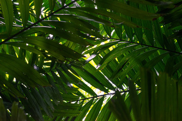 Branches of a palm tree view from below. Coconut palm tree under blue sky.