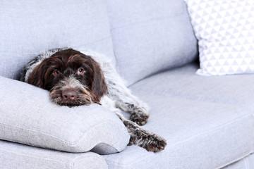 German pointer dog sitting on grey sofa