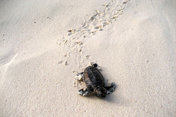 Baby turtles on the way to ocean after hatching