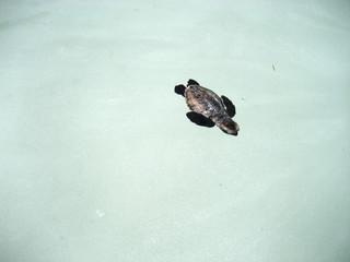 Baby turtles have first swim in ocean water