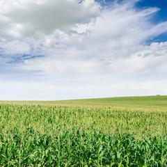 Corn plantation and blue sky.