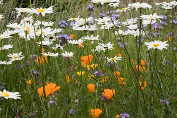 Wild flowers, daisies, California poppies