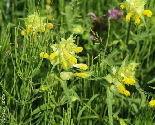 Close up of rhinanthus angustifolius or greater yellow rattle flower close up of rhinanthus angustifolius or greater yellow rattle flower mightylinksfo