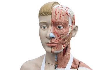 human model of anatomy on a white background.