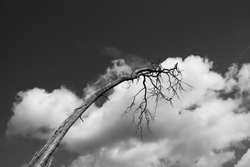 dead old tree in front of sky with clouds