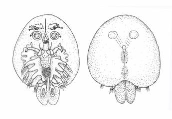 Fish parasite. Sketch black.