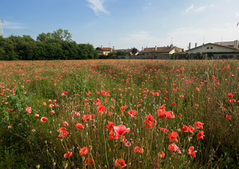 colorful poppies field in summer season