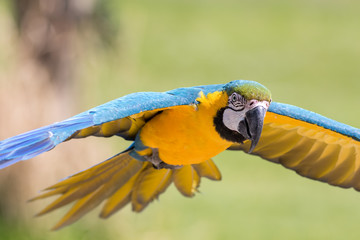 Beautiful blue and gold Macaw parrot, Close-up of a tropical bird flying.