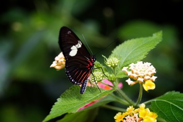 Delicate Dance: Perhaps a Pink Cattleheart Butterfly takes a break before moving on.