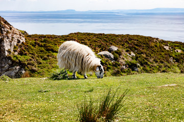Mature sheep grazing in field near ocean