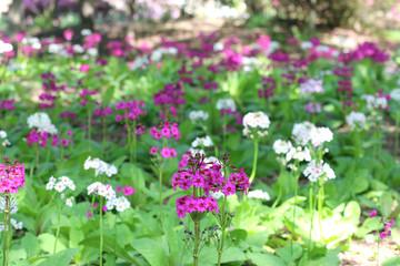 緑水苑・クリンソウ(福島県・郡山市)