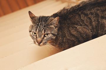chat tigré tabby mâle dans intérieur maison