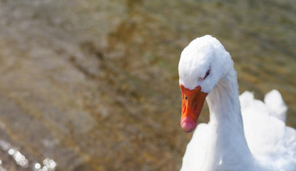 White goose portrait.
