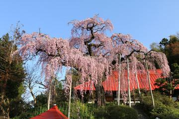 大聖寺の紅しだれ桜(福島県・田村市)