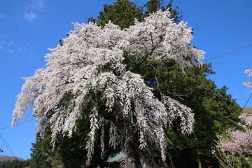 堂山王子神社のしだれ桜(福島県・田村市)