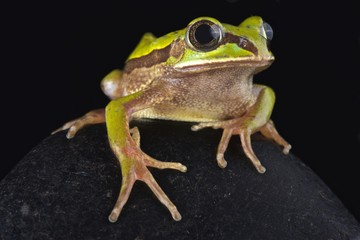 Big-eyed frog (Leptopelis nordequatorialis)