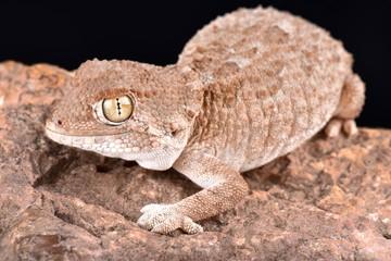 helmeted gecko (Tarentola chazaliae)