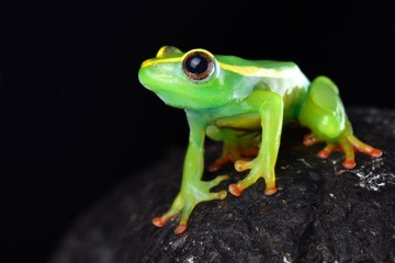 Riggenbach's reed frog (Hyperolius riggenbachi)