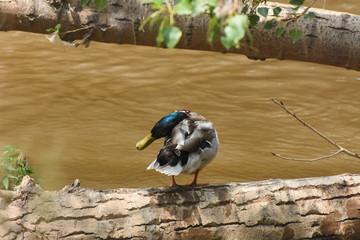 Mallard duck on tree in river. Wild european duck