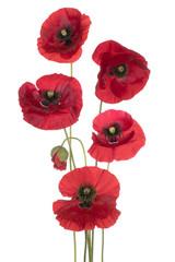 Foto op Canvas Poppy poppy flower isolated