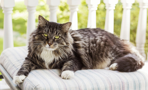 Maine Coon Cat On Porch