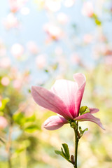 Magnolia pink blossom flowers