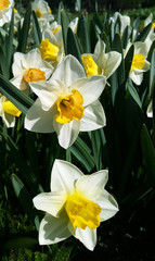 Beautiful white and yellow flowers of spring Narcissus