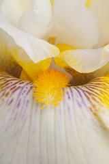 iris flower background
