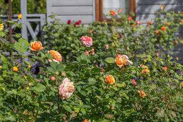 Blooming yellow, orange, pink rose in the garden on a sunny day after rain. Rose Charles Austin. Panoramic view.