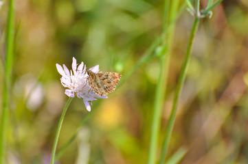 Skipper butterfly on flower. The Mallow Skipper - Carcharodus alceae