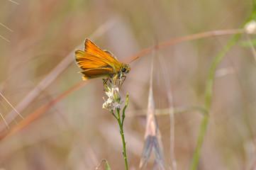 Small Skipper Butterfly ( Thymelicus sylvestris)  on flower. Little orange butterfly on meadow