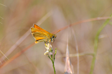 Small Skipper Butterfly ( Thymelicus sylvestris)  on flower. Little orange butterfly on meadow
