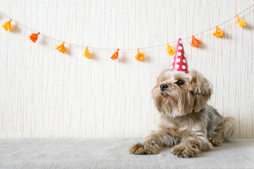 Funny cute Yorkshire Terrier (Yorkie) Dog in red party hat cap lies on table on background of festive garland and decor. Party, fun, holiday background, banner ended. Copy space