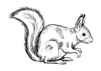 Drawing of red squirell - hand sketch of animal Sciurus vulgaris, black and white illustration