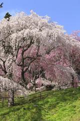 桜谷枝垂れ桜(福島県・三春町)