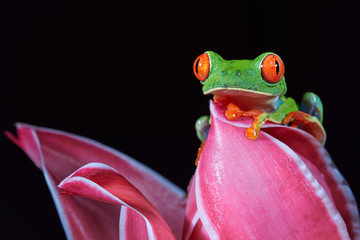 Agalychnis callidryas,tropical Red-eyed tree frog, non-toxic,colorful arboreal frog with red eyes and toes,vibrant green body and blue feets,staring from pink heliconia flower. Rainforest wildlife.